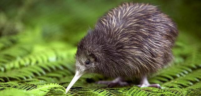 """Résultat de recherche d'images pour """"kiwi est connu comme nouvelle zelande"""""""